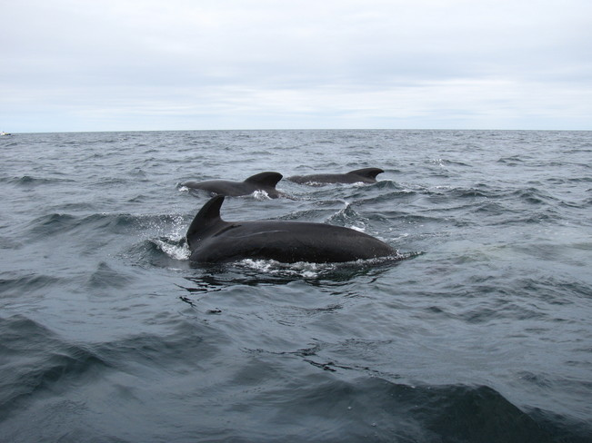 Pilot Whales in Cape Breton Pleasant Bay, Nova Scotia Canada