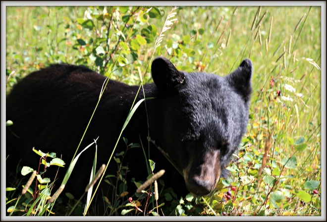 Busy Bear Browsing in the Berry Patch Waterton Park, Alberta Canada