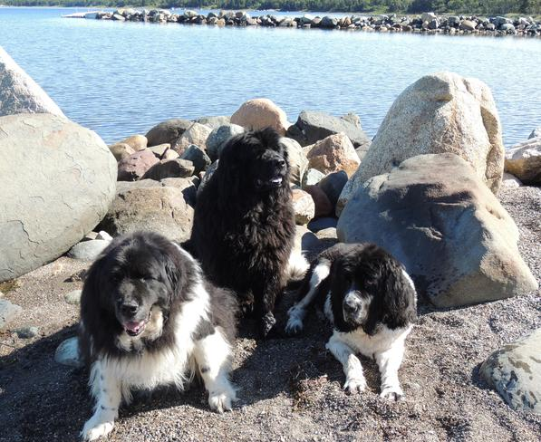 # Newfoundland dogs posing in Beautiful Loon Bay. NL