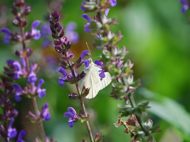 Cabbage White Butterfly Brandon, Manitoba Canada