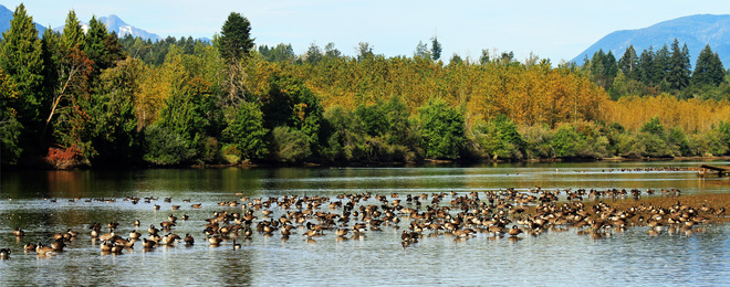 Canadian Geese In The River Port Alberni, British Columbia Canada