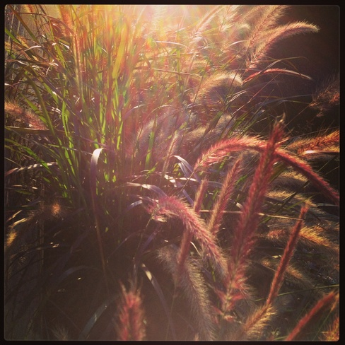 Grasses at sunset St. Thomas, Ontario Canada
