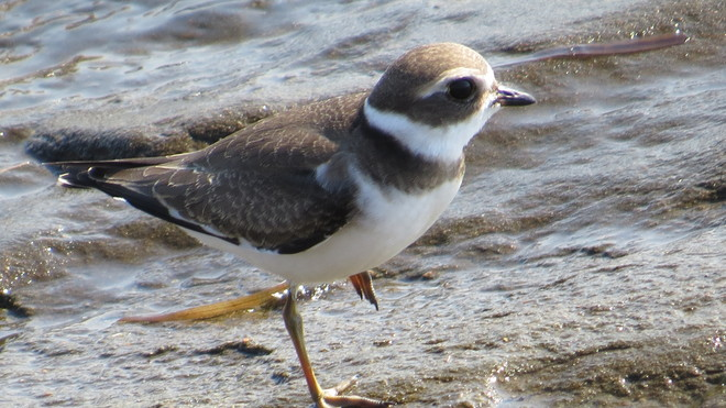 Plover on the beach Caissie Road, New Brunswick Canada