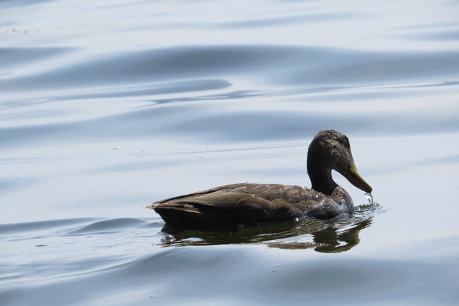 American Black Duck Chester, Nova Scotia Canada