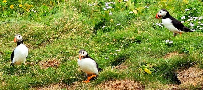 Puffins at Elliston Mount Pearl, Newfoundland and Labrador Canada