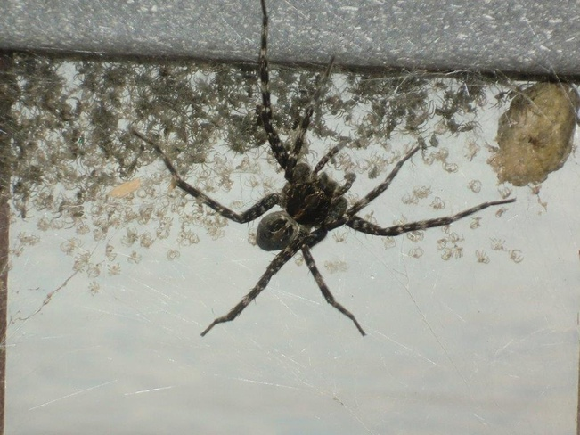 creepy spider Rennie, Manitoba Canada