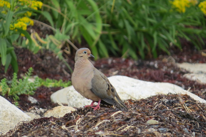 Mourning Dove By The Waters Chester, Nova Scotia Canada
