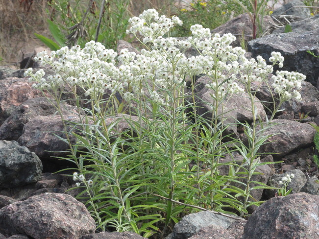 Pearly Everlasting Along The Riverbanks Moncton, New Brunswick Canada