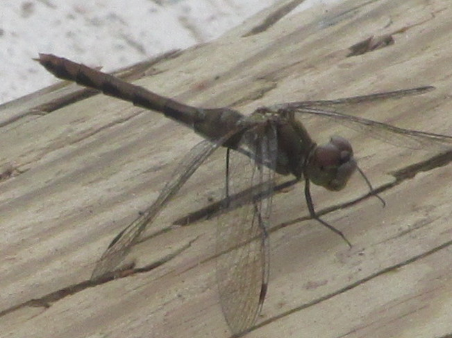 Dragonfly along the boardwalk near the river Moncton, New Brunswick Canada