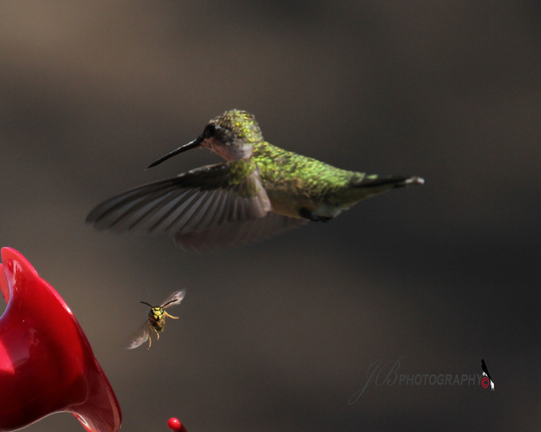 Female Ruby-throated Hummingbird Port Colborne, Ontario Canada