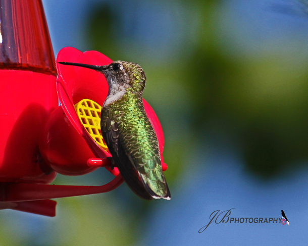 Female Ruby-throated Hummer Port Colborne, Ontario Canada