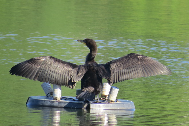 Double-crested Cormorant Timmins, Ontario Canada