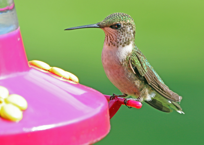 Female/Immature Ruby-throated Hummingbird Kingston, Ontario Canada