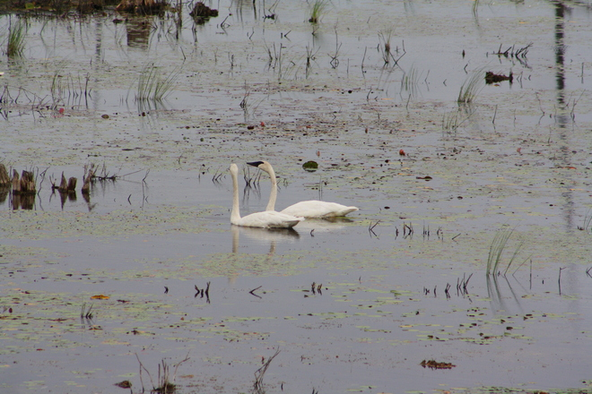 swans in the swamp Havelock, Ontario Canada