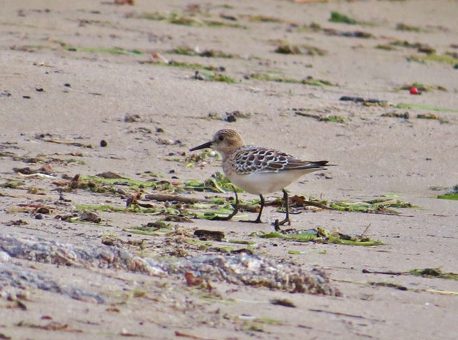 3 Legged Sandpiper or . . . . North Bay, Ontario Canada