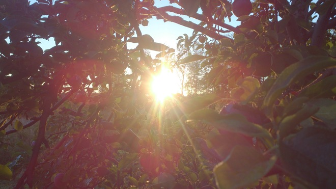 Apple Sunshine in Wolfville Wolfville, Nova Scotia Canada