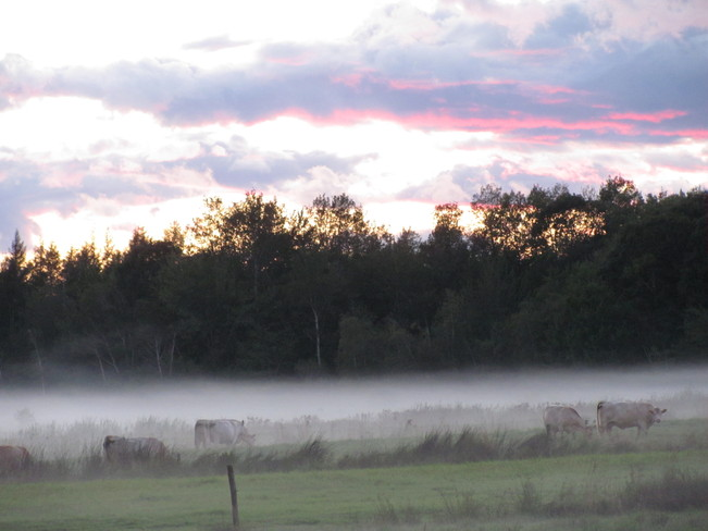 Cattle in the Fog Amherst, Nova Scotia Canada