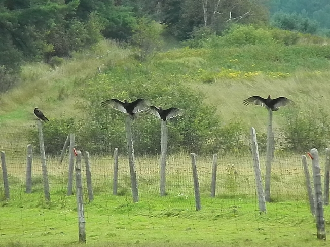 Turkey Vultures Perched on Posts