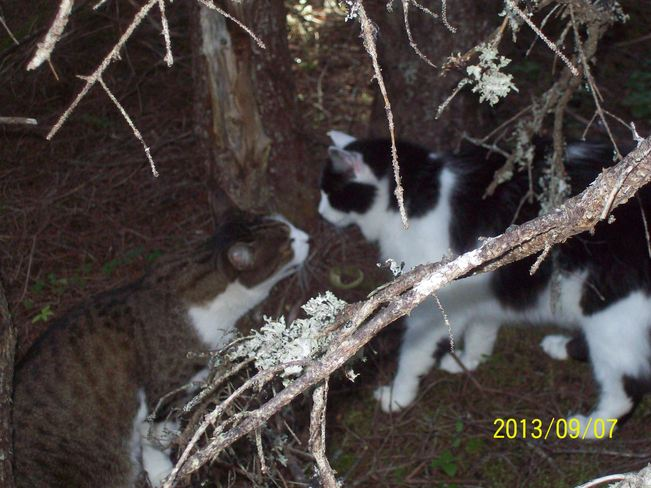 cats Twillingate, Newfoundland and Labrador Canada