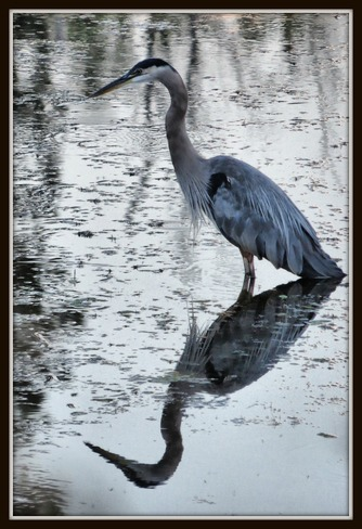 Lovely Blue Heron Enderby, British Columbia Canada