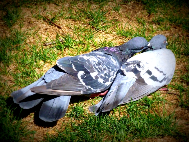 Dove Love Montréal, Quebec Canada