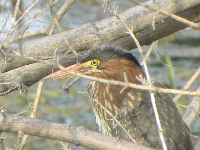 Yelowed Eyed Green Heron Ottawa, Ontario Canada