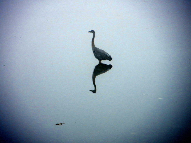 Heron in the fog Sidney, British Columbia Canada