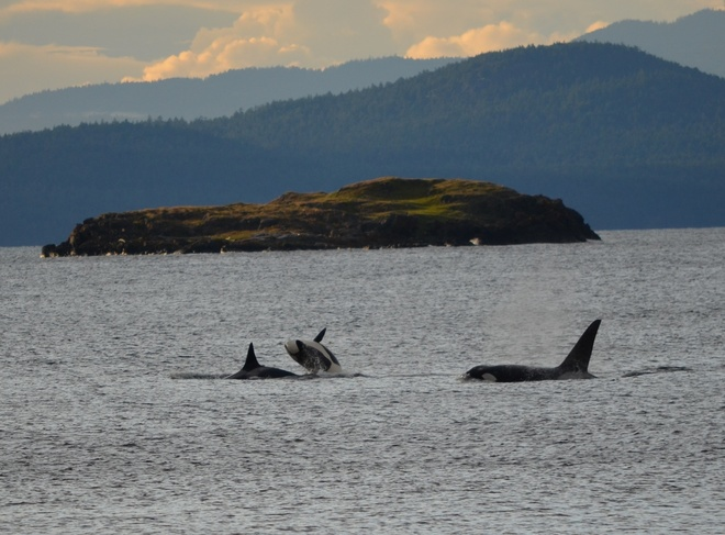 Bany Orca jumping over Mom Orca Nanoose Bay, British Columbia Canada