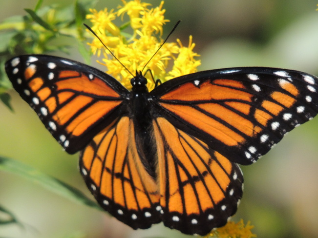 Beautiful Monarch Grand Valley, Ontario Canada
