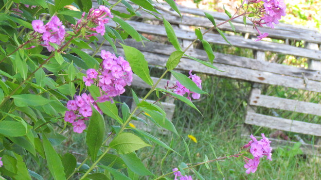 Phlox and the Lobster Trap