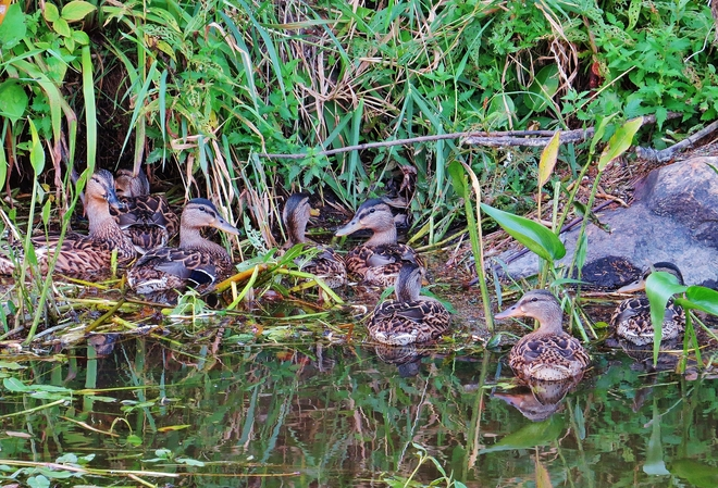 Duck family 'hiding' before dinner. North Bay, Ontario Canada