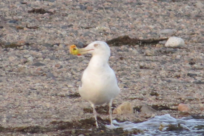 Herring Gull Playing With A Crabapple Chester, Nova Scotia Canada