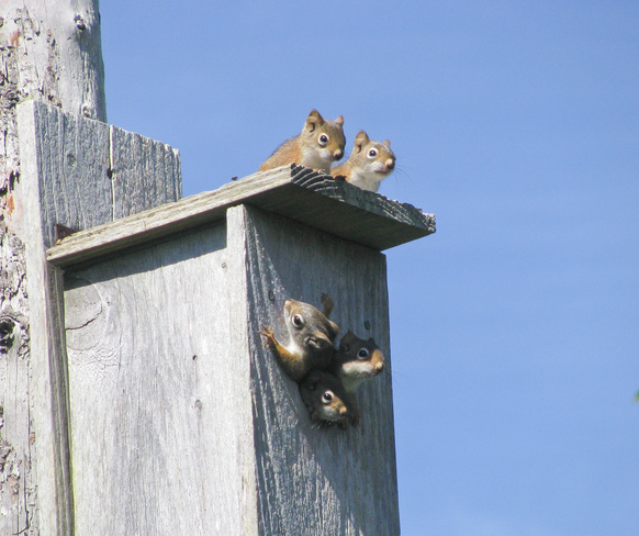 A Scurry of Squirrels Pubnico, Nova Scotia Canada