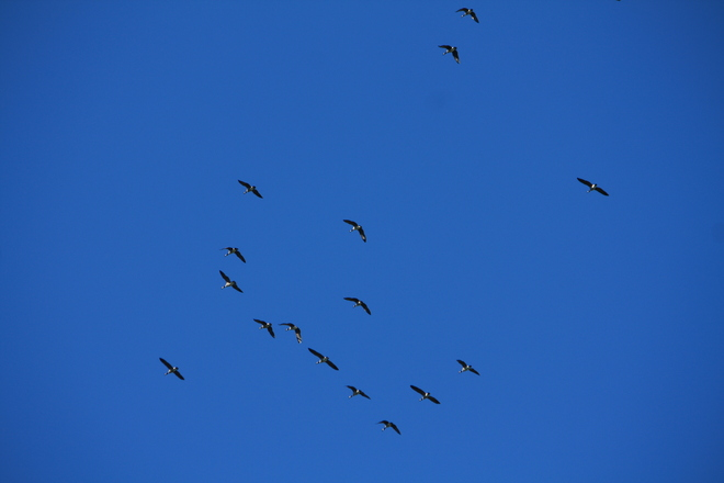 Geese in the sky Clifford, Ontario Canada