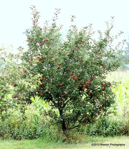 apples on tree Quyon, Quebec Canada