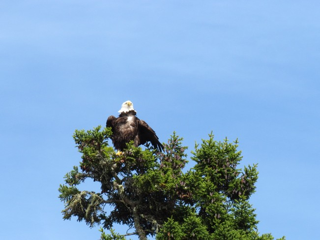 Eagle Standing Tall Saint George, New Brunswick Canada