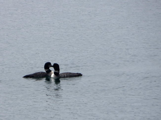 Loons Playing Pointe au Baril, Ontario Canada