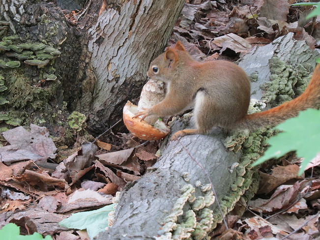 Squirrel Eating Mushroom Sudbury, Ontario Canada