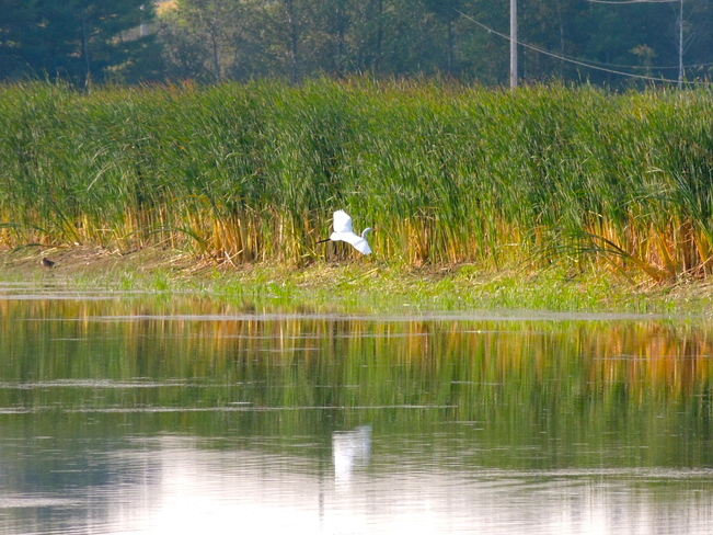 Great Egret - Just Visiting Port Perry, Ontario Canada