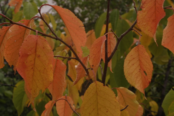 beautifully colored dogwood leaves at Crescent Park Winnipeg, Manitoba Canada