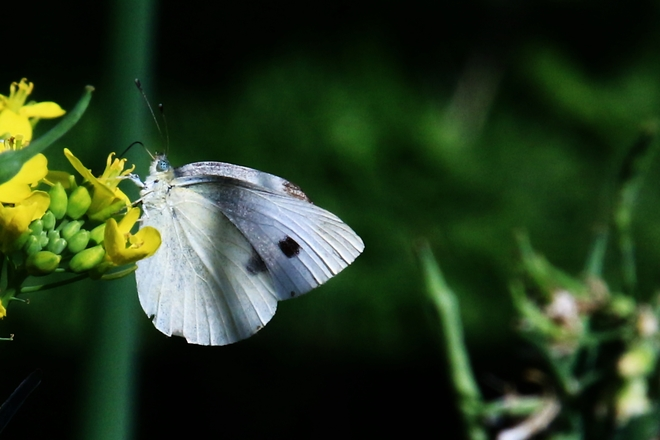 Cabbage white butterfly Surrey, British Columbia Canada