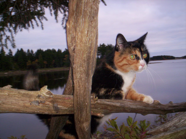 CAT LOOKING INTO A DUCK BLIND..Patio Musquash, New Brunswick Canada