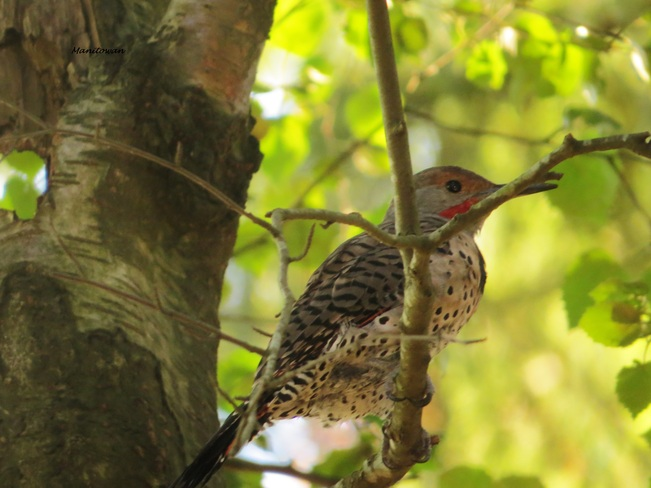 Northern Flicker Perch New Westminster, British Columbia Canada