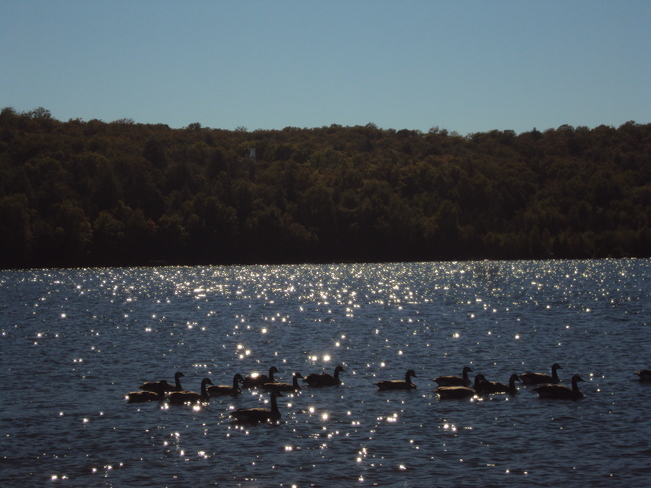 Geese and Elliot Lake Elliot Lake, Ontario Canada