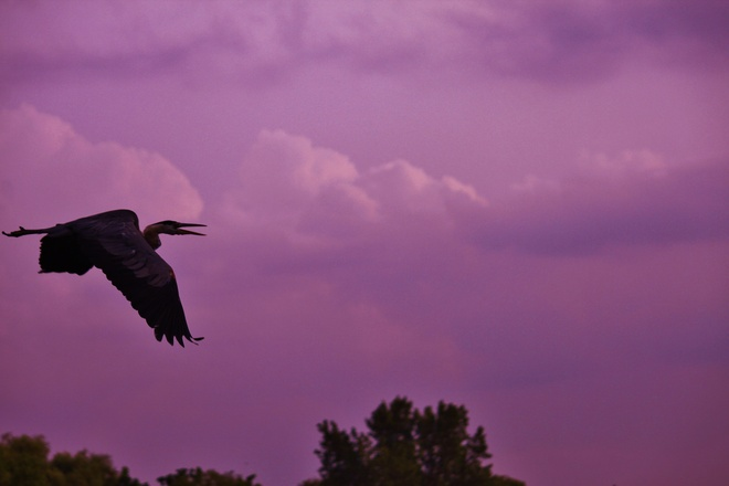 Largest prehistoric animals ' Great Blue Heron' St. Catharines, Ontario Canada