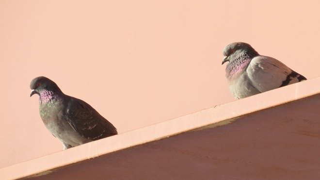 Petitcodiac Pigeons Riverview, New Brunswick Canada
