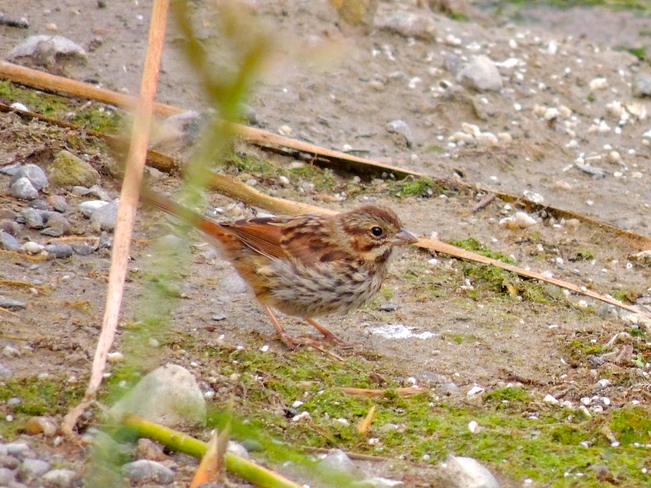 Swamp Sparrow in the Lagoons Port Perry, Ontario Canada