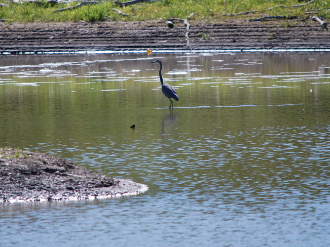 Heron at the Riverbank Brandon, Manitoba Canada