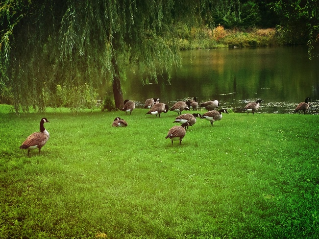 Geese Westmount, Quebec Canada