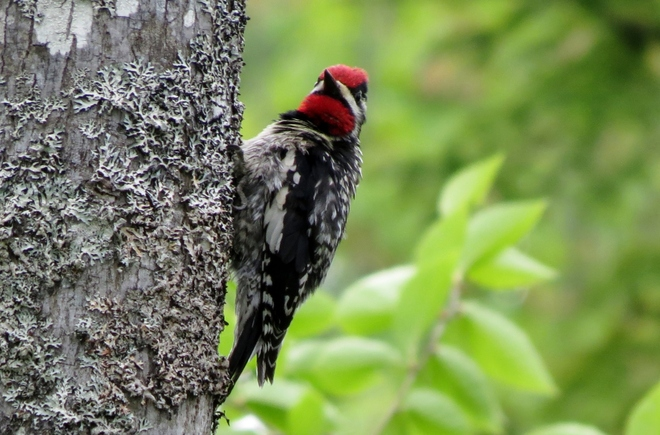 Yellow-bellied Sapsucker Moncton, New Brunswick Canada